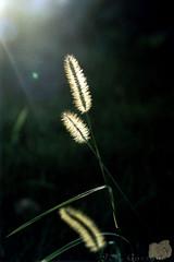 Golden Matinho (Jorge L. Gazzano) Tags: flores pentaxk1000 focoseletivo jorgelgazzano
