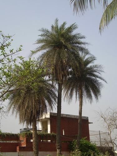 dates trees pictures. 9 dates khajoor trees winter