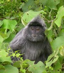 Bako National Park: silvered leaf monkey business (presbytis cristata) (John Steedman) Tags: monkey sarawak malaysia 馬來西亞 マレーシア bakonationalpark silveredleafmonkey presbytiscristata
