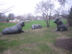 Cows at the U of M