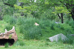 IMG_2545 (larkin_diana) Tags: zoo nationalzoo dczoo