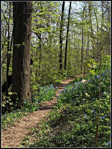Ephemeral Wildflowers by Woodland Path