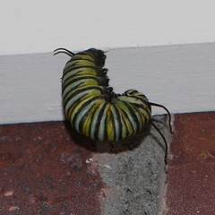 Monarch Caterpillar Ready to Transform (kinjotx) Tags: caterpillar monarch kinjotx img5088crp derkrake