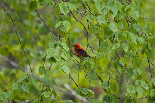 Scarlet Tanager-2