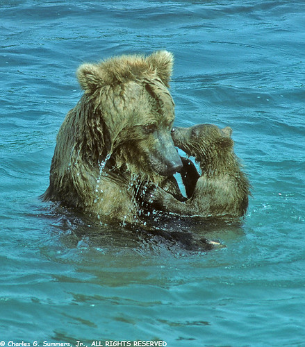 Grizzly Bear Cub clings to Mother preventing her from fishing for Salmon