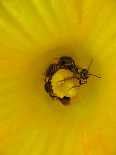 Bees on last years pumpkin flower