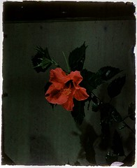Hibiscus (George Eastman Museum) Tags: red plant flower hibiscus malvaceae georgeeastmanhouse agedfilm autochrome photo:process=colorplatescreenautochromeprocess color:rgb_avg=25241b geh:accession=197703740031