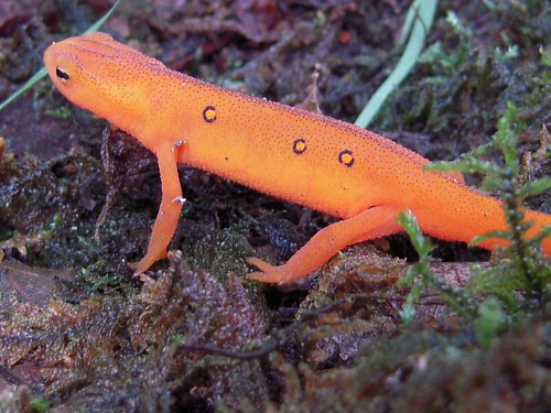 Red-spotted Newt 2 (Orange Salamander)