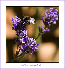 To all of you (mormoralice) Tags: flowers summer lavendel thegoldenmermaid