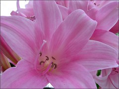 Magic Lilies in pink