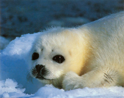 Snow-Seal-Print-C10054502.jpeg
