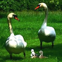 yes dear (Robin_A) Tags: swans cygnets