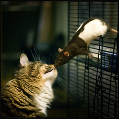 kiss (tlong) Tags: friends pets cute love cat mouse rat kiss funny sniff foodchain mitty verycute weakestlink noonewaseaten catkissingrat ratkissingcat orsmellingarat thecatwhoturnedonandoff