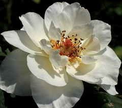 Humbled (Kurlylox1) Tags: light summer white rose petals shadows rosa virtue stamens delicate purity humility mywinners