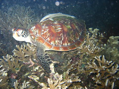Turtle on Night Dive