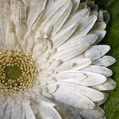 FLOR Y TEXTURAS (2 intento) (PIKAPLE) Tags: flower macro bravo explorer flor olympus zuiko texturas tq e330 zd1454mm a3b qualitypixels pikaple cariomuymerecidoeseexplorer