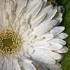 FLOR Y TEXTURAS (2º intento) (PIKAPLE) Tags: flower macro bravo explorer flor olympus zuiko texturas tq e330 zd1454mm a3b qualitypixels pikaple cariñomuymerecidoeseexplorer