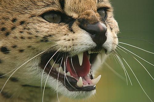 Serval by golden shovel on Flickr