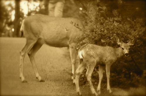 mule deer? - check