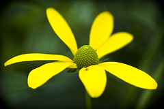 Yellow on green (manganite) Tags: flowers summer plants macro green nature topf25 colors yellow closeup digital germany garden geotagged petals saturated nikon colorful europe dof seasons bright bokeh tl blossoms symmetry d200 pollen nikkor dslr vignette 50mmf18 disteln herten northrhinewestphalia stamina closeuplense utatafeature manganite nikonstunninggallery repost1 date:year=2008 uhlandstrase date:month=august date:day=11 geo:lat=51598319 geo:lon=7152226 format:ratio=32 repost2 repost3