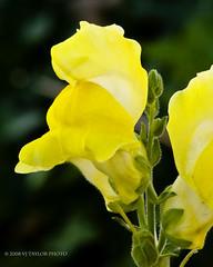 Yellow Snapdragon (Von Taylor) Tags: flowers nature botanicals d300 sigma105mm mywinners abigfave ultimateshot goldstaraward excellentsflowers flowersarefabulous multimegashot simplythebest~flowers