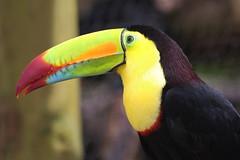 Toucan  carne / Keel-billed Toucan (Ramphastos sulfuratus) (Seb & Jen) Tags: bird nature animal toucan costarica paz oiseau ramphastos sulfuratus