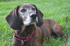 Brownie (merripat) Tags: dog beagle dogs mutt dachshund brownie mixedbreed
