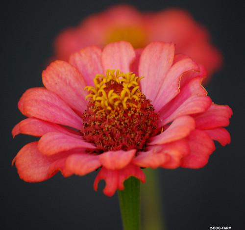 Zinnias: The Cinderella Flower