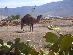 Camel (Becksta1) Tags: sea sun holiday beach islands fuerteventura lanzarote camel pear canary prickly