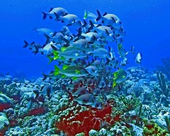 shoal shape in Bonaire coral reef (Z Eduardo...) Tags: blue sea fish nature colors underwater caribbean scubadive bonaire coralreef shoal dutchantilles anawesomeshot
