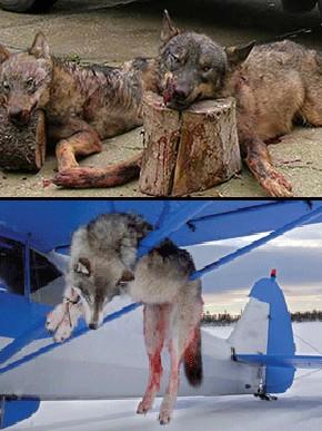 Sarah Palin - Dead Wolves