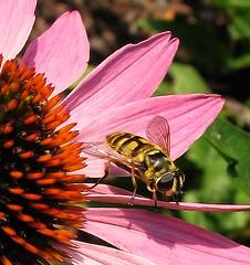 Good morning! (langkawi) Tags: pink orange insect buzz echinacea coneflower langkawi soe hoverfly schwebfliege naturesfinest purpursonnenhut abigfave anawesomeshot buzznbugs