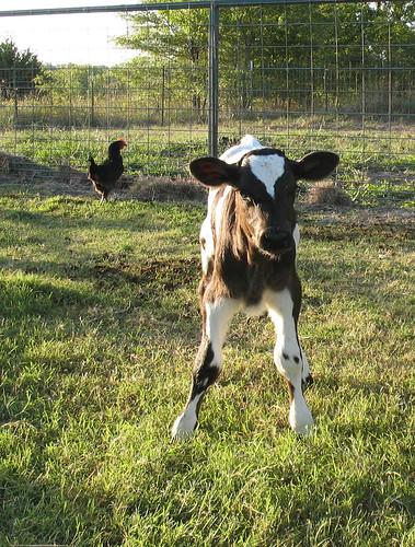 cross calf