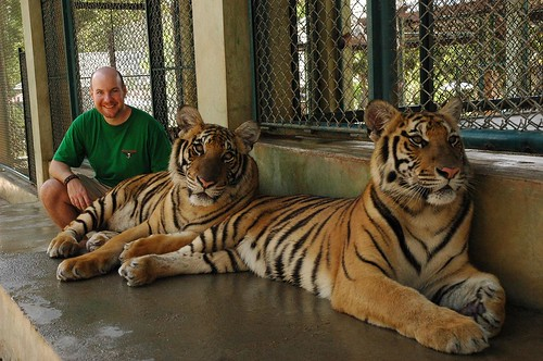 Petting tigers in Thailand