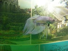 Smarties 3 (iv_leodr) Tags: pink blue red plants white fish purple shakespeare smarties vase aquatic betta splendens