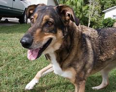 Ready For the Toss (jeffk42) Tags: dog abbey tongue puppy orlando mutt florida frisbee fetch germanshepherdhuskymix