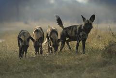 Wild dog (Margie.V) Tags: botswana wilddog kwai