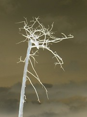 Gothic tree (shadowshador) Tags: tree art wales gothic negative llansilin