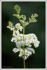Meadowsweet (Kev Palmer) Tags: plant nikon herbs meadows wildflower staffordshire herb damp rosaceae filipendulaulmaria d80 mountainspirea coombesvalley bridewort meadowqueen prideofthemeadow ladyofthemeadow