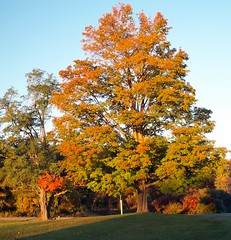 Autumn and Dad's Big Maple