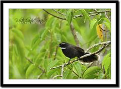 White-throated Fantail (Rhipidura albicollis) (Z.Faisal) Tags: black green bird nature station river dark nikon beak feathers aves nikkor bangladesh avian bipedal bangla faisal desh fantail d300 zamir khulna shyamnagar whitethroated rhipidura albicollis sundarbans sundarban pakhi endothermic satkhira nikkor300mmf4 whitethroatedfantail rhipiduraalbicollis zamiruddin zamiruddinfaisal dholagola burigoalini kalagachi kholpetua kalagachistation kholpetuariver chatighurani dholagolachatighurani zfaisal