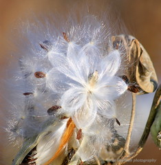 Where the forest faeries sleep (lynne_b) Tags: park autumn light flower fall nature colors forest illinois soft glow seasons grove seeds cotton bloom milkweed seedpod explored meachamgrove
