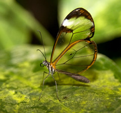 Glass Wing Butterfly on leaf (Theresa Elvin) Tags: butterfly sheffield tropical tropicalbutterflyhouse naturesfinest glasswingbutterfly northanston alemdagqualityonlyclub damniwishidtakenthat beautifulmonsters sheffieldbutterflycentre