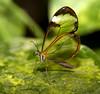Glass Wing Butterfly on leaf (Theresa Elvin) Tags: butterfly sheffield tropical tropicalbutterflyhouse naturesfinest glasswingbutterfly northanston alemdagqualityonlyclub damniwishidtakenthat beautifulmonsters sheffieldbutterflycentre