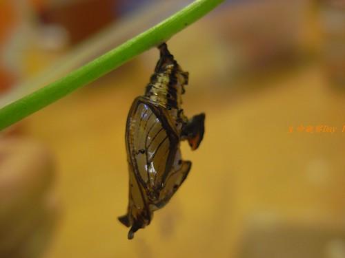 你拍攝的 蝶蛹。