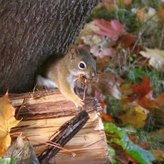 Écureuil roux -- Red Squirrel par Gilles Gonthier