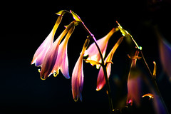 Extreme Backlighting (MCD Photography) Tags: flowers sunset colorful da backlighting pentaxk10d