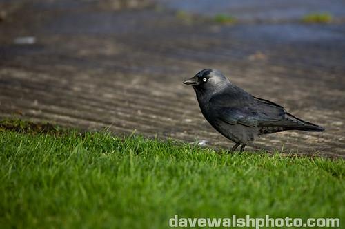 Jackdaw, corvus mondedula