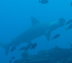 Hammerhead, Christmas Island (Tony) Tags:
