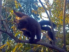 Madagascar (SamwiseGamgee69) Tags: españa valencia animal animals spain lemur animales bioparc lémur